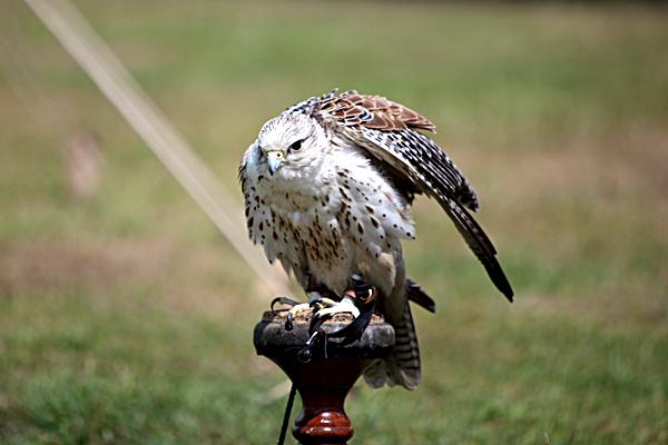 Sokoły były ptakami niezwykle kosztownymi – często wręczano je jako podarunek. ©Shutterstock.com, Digital Media Pro.